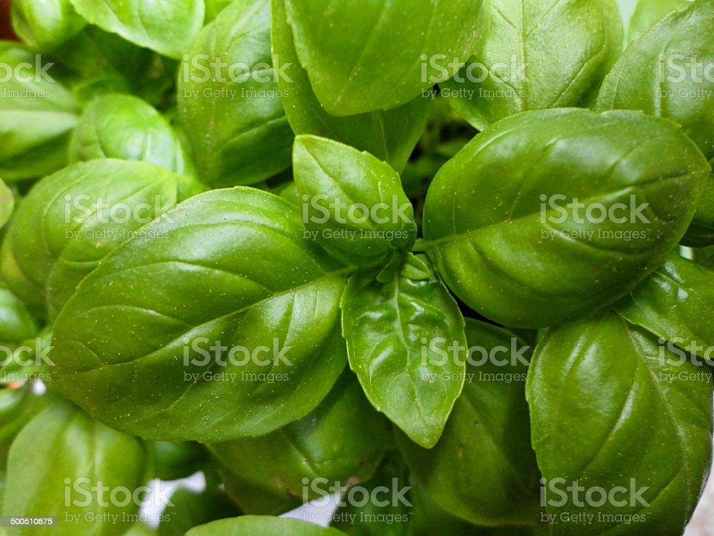 Basilikum stock photo