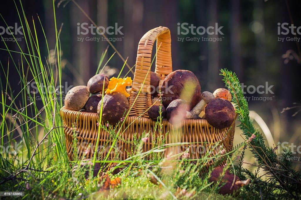Basket full edible mushrooms forest stock photo