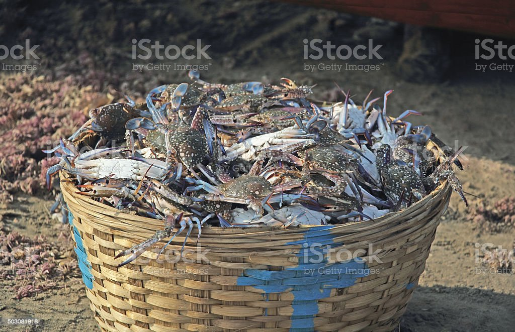 Basket Full of Blue Crabs stock photo