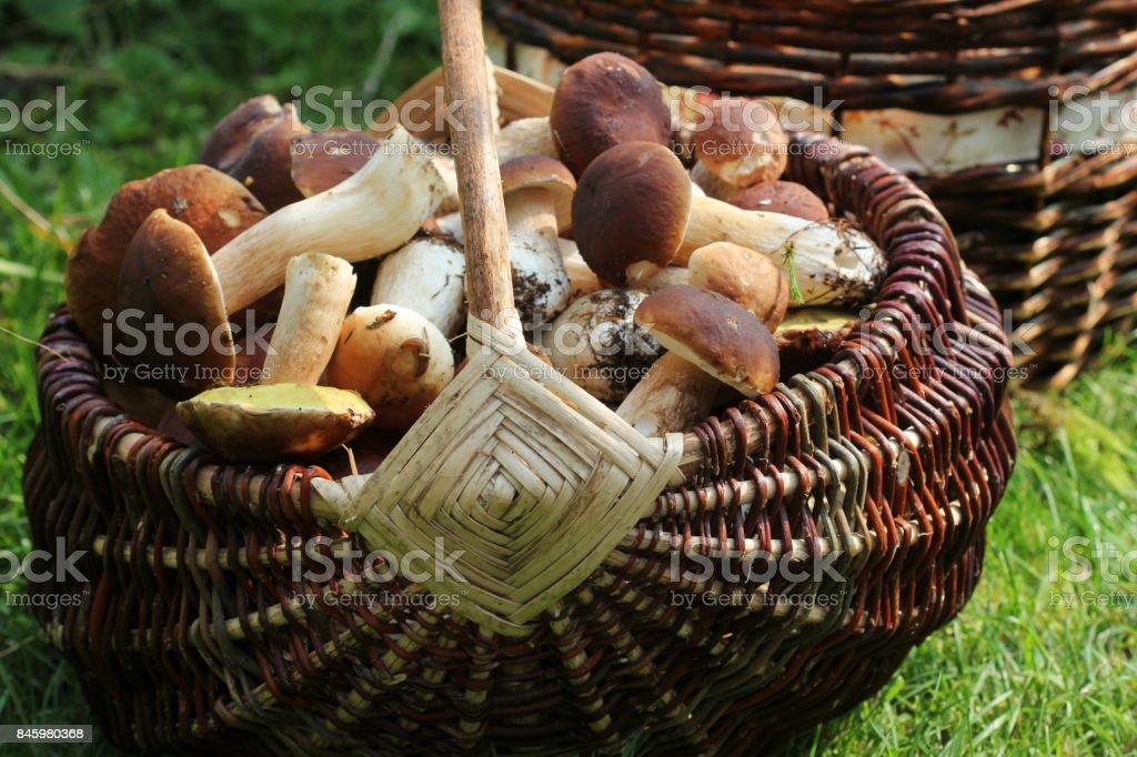 Basket full of boletus mushrooms in forest stock photo