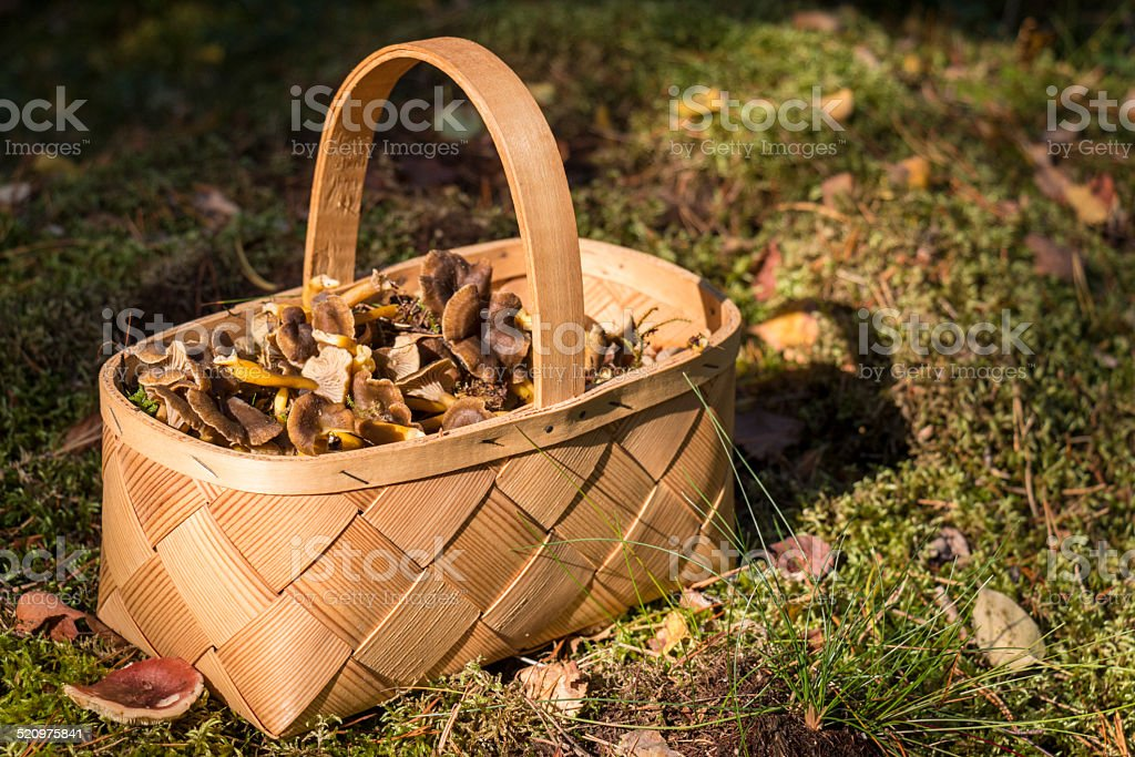 Basket full of funnel chanterelles, Cantharellus tubaeformis stock photo