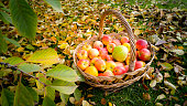 Basket full of ripe apples on ground covered by leaves