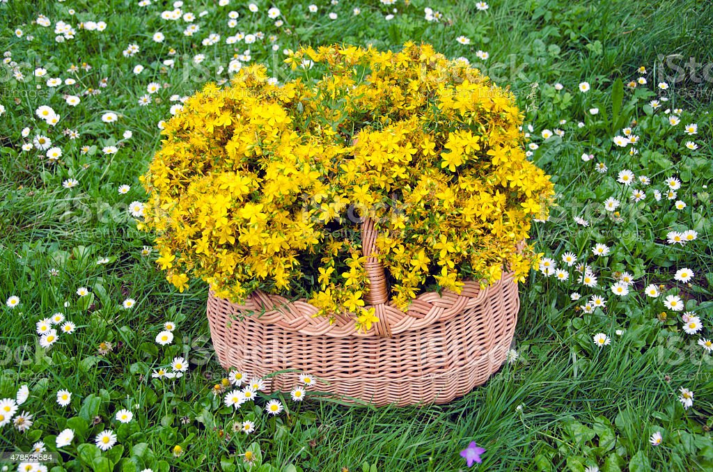 basket medical flowers of st. Johns wort. Midsummer concept stock photo