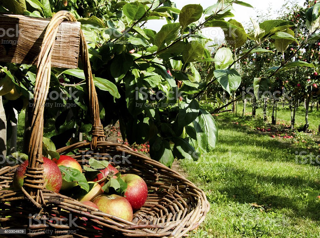 Basket of apples for the Apple harvest stock photo