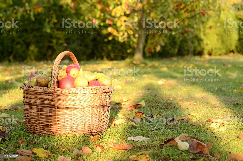 Basket of apples in the garden at sunset in autumn stock photo