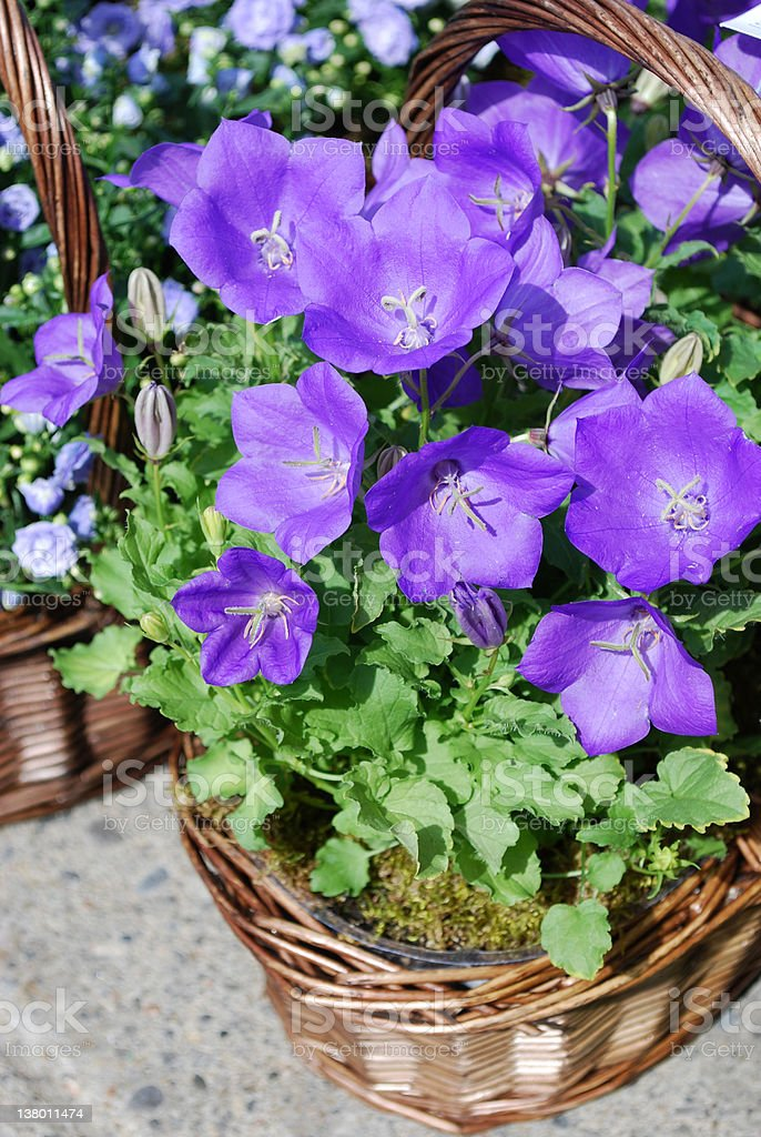 Basket of blue bell flowers royalty-free stock photo