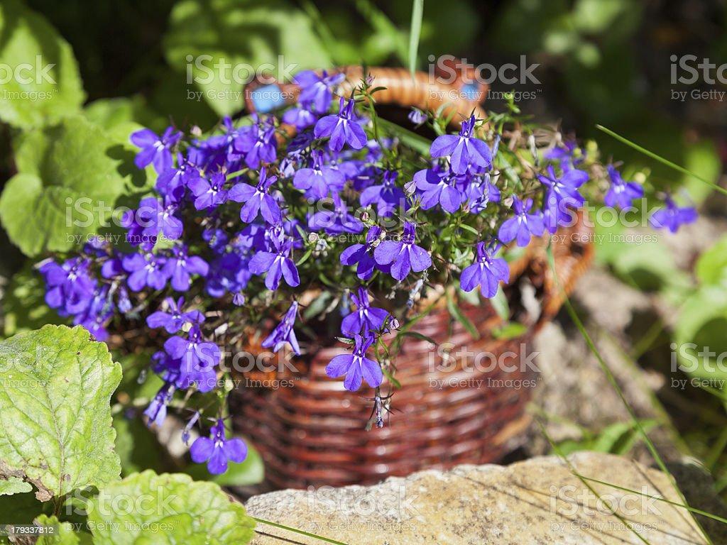 basket of blue lobelias flowers stock photo