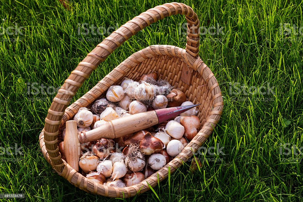 Basket of Bulbs and a Dibber Waiting To Be Planted stock photo