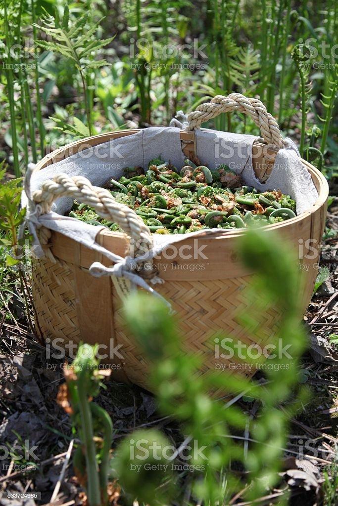 Basket of fiddlehead fern buds, outside stock photo