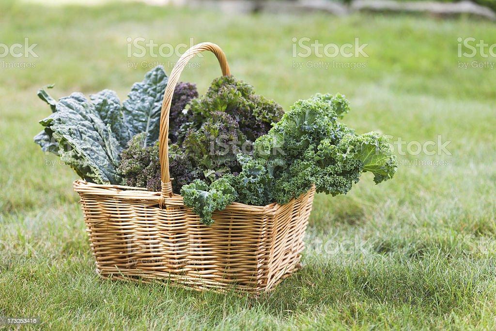 Basket of Fresh Kale Vegetable Varieties Harvested from Garden Hz stock photo
