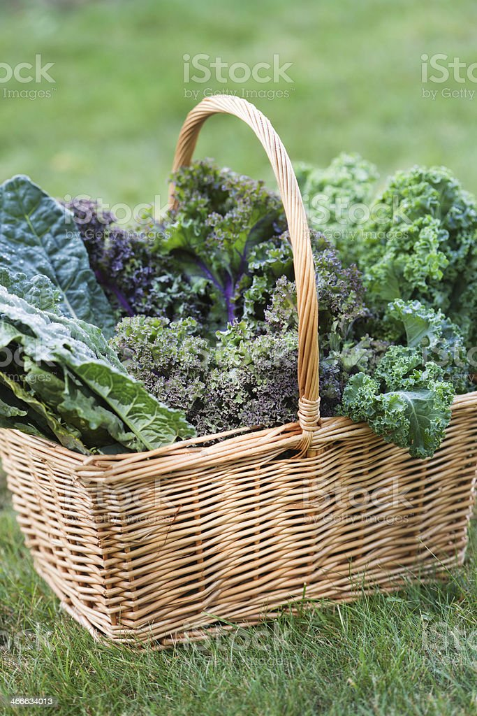 Basket of Fresh Kale Vegetable Varieties Harvested from Garden Vt stock photo