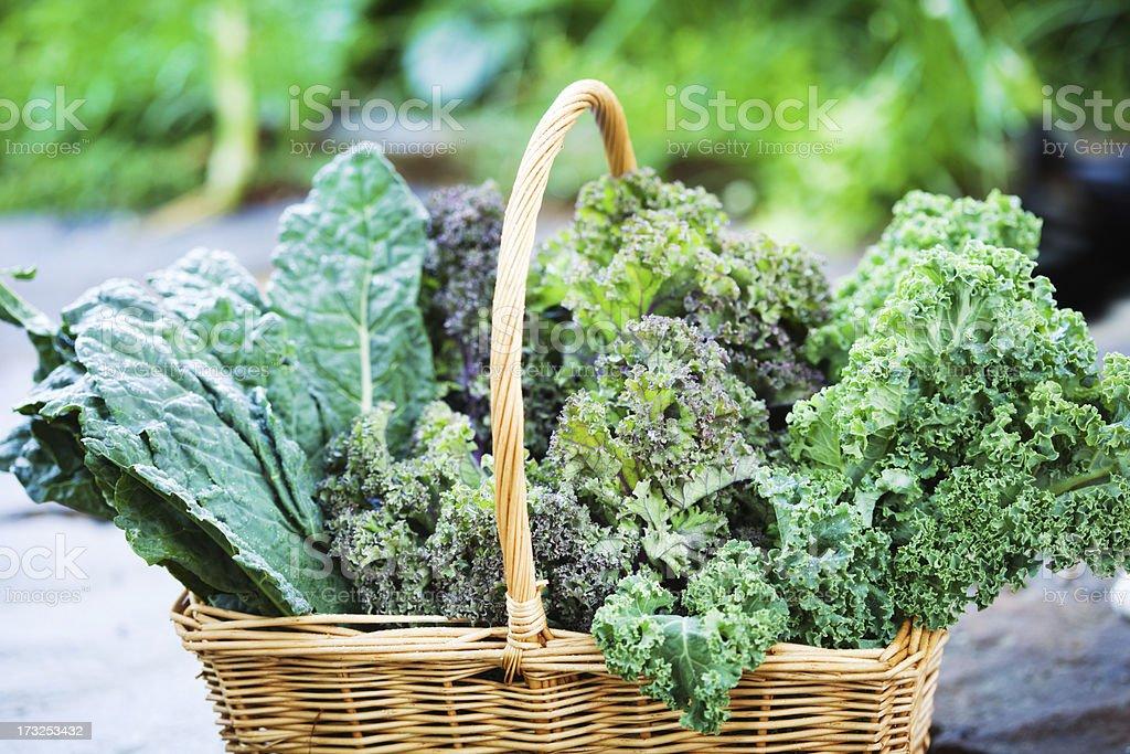 Basket of Freshly Harvested Kale Vegetable Varieties Close-up royalty-free stock photo