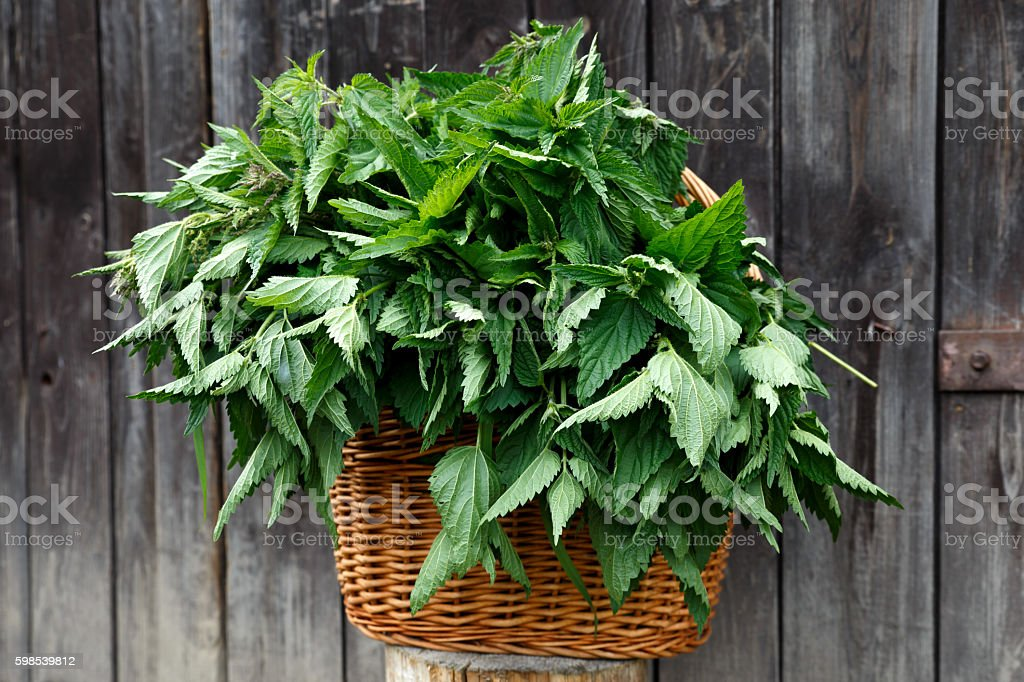 Basket of freshly picked nettles on dark wood background. stock photo