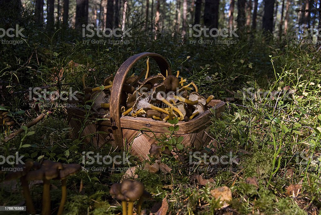 Basket of funnel chanterelle stock photo