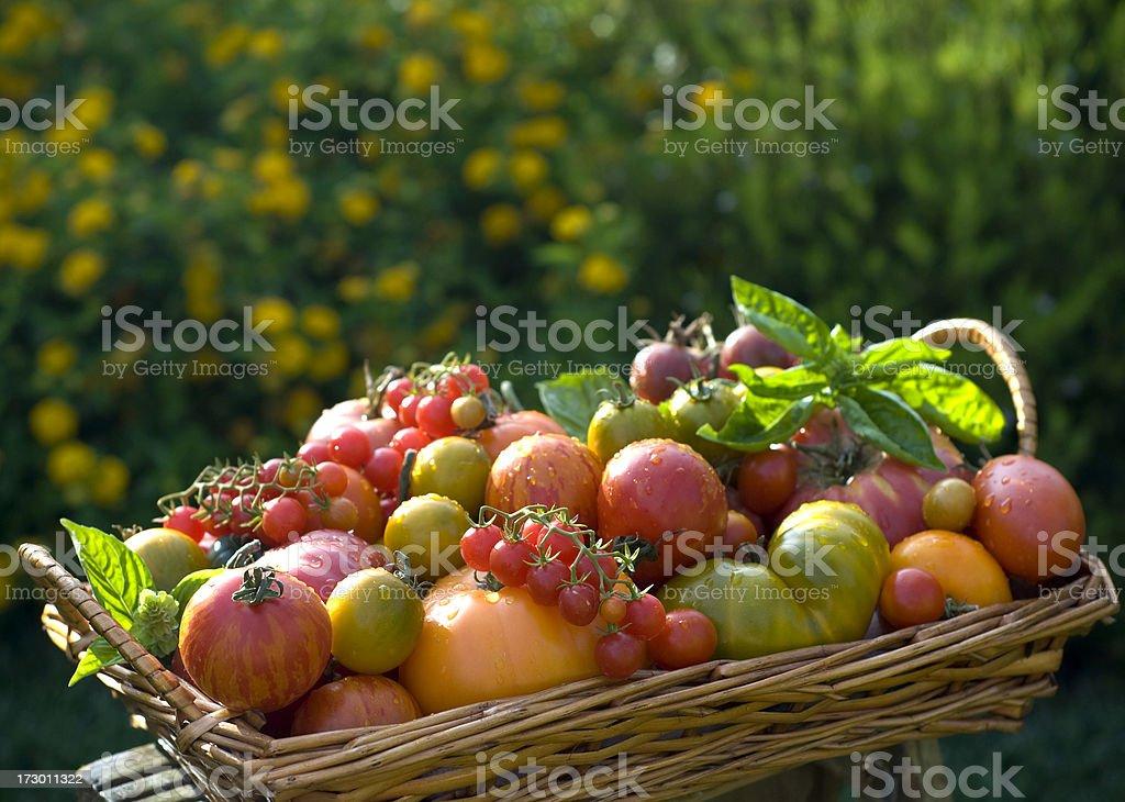 Basket of Garden Heirloom Tomatoes, Organic Vegetable Gardening royalty-free stock photo