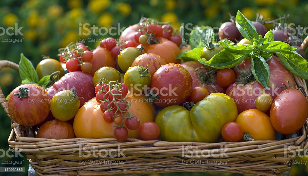 Basket of Homegrown Heirloom Tomatoes Vegetables royalty-free stock photo