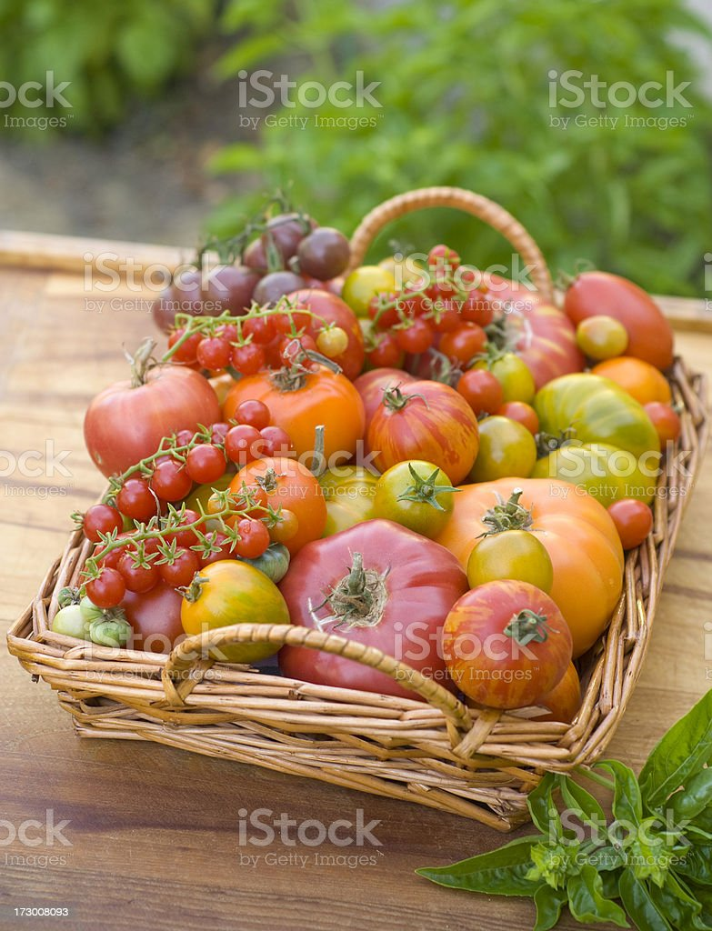Basket of Homegrown Summer Produce, Organic Heirloom Tomatoes Vegetable Harvest royalty-free stock photo