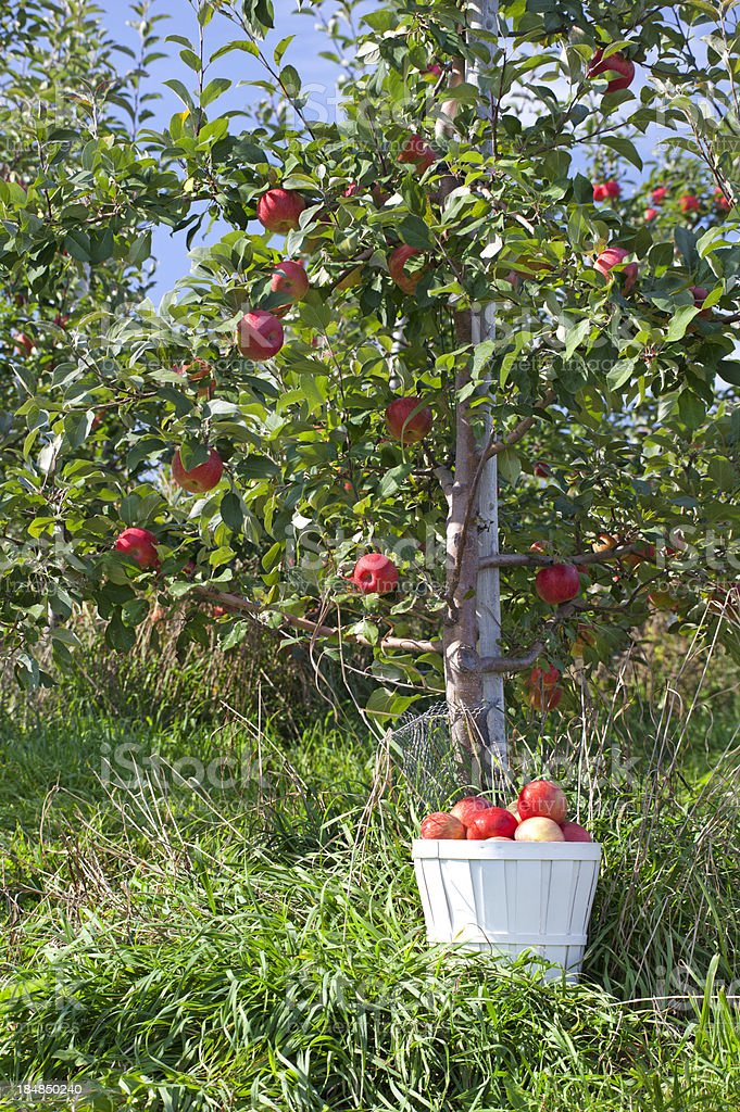 Basket of Honeycrisp Apples and Apple Tree royalty-free stock photo