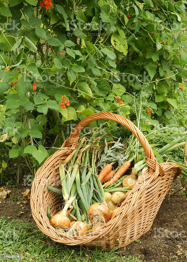 Basket of Organic Vegetables in a Garden royalty-free stock photo