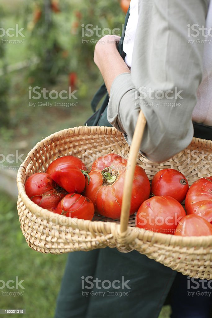 Basket of red bio tomatoes royalty-free stock photo