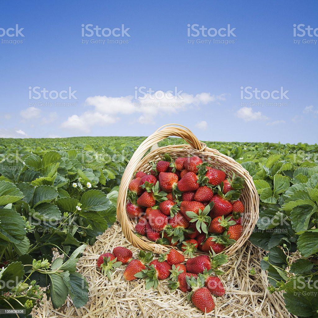 Basket of strawberries overturned in a strawberry field stock photo