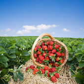 Basket of strawberries overturned in a strawberry field