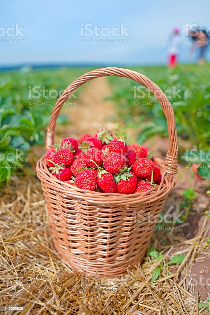 Basket of strawberries stock photo