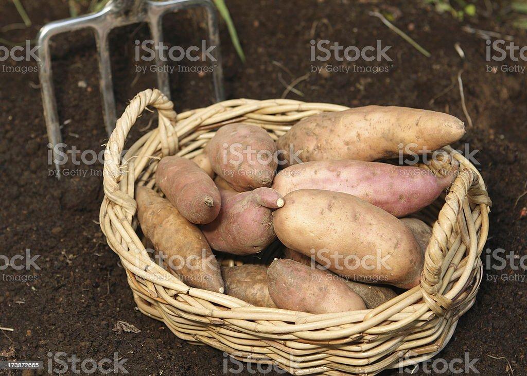 basket of sweet potatos stock photo