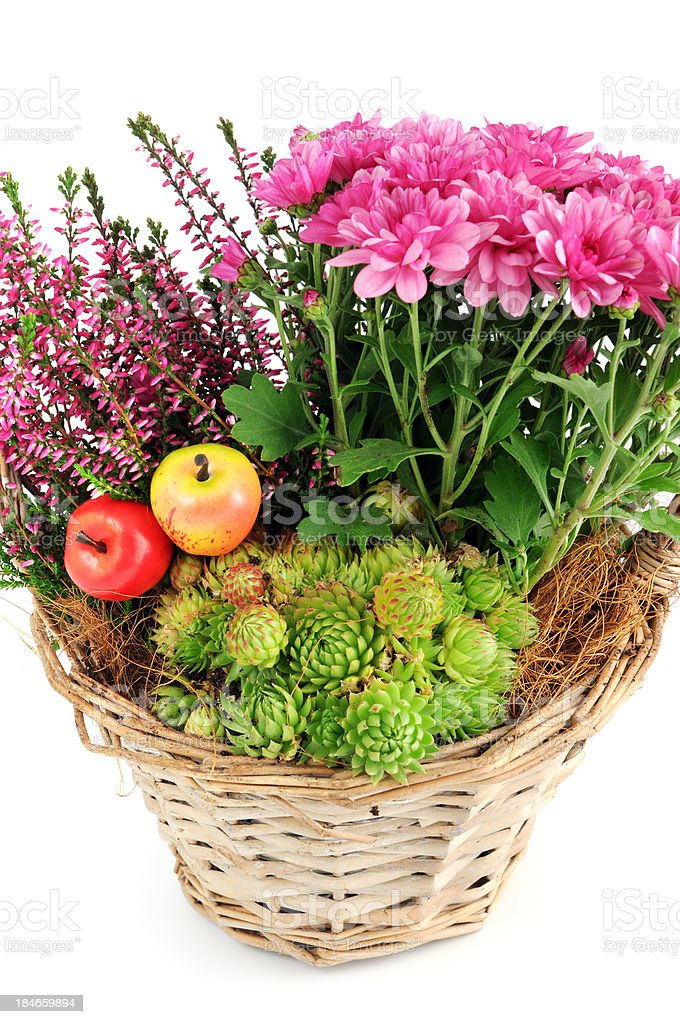 basket pink Mums (Chrysanthemums) with erica flower and Houseleeks succulent stock photo