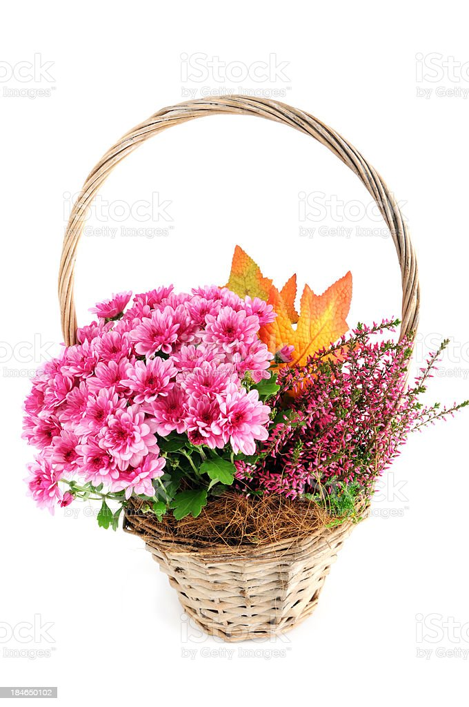 basket pink Mums (Chrysanthemums) with erica flower stock photo