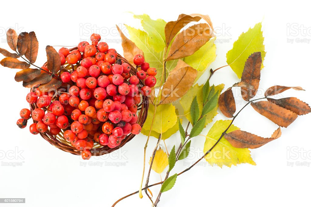 Basket with branches of mountain ash and autumn leaves. stock photo