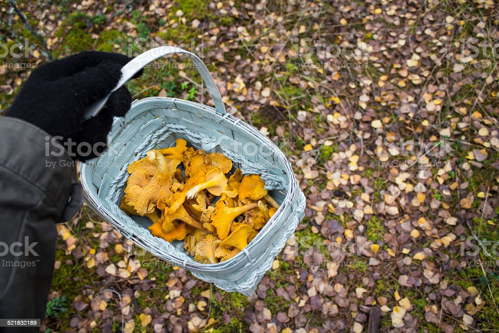Basket with chanterelles stock photo
