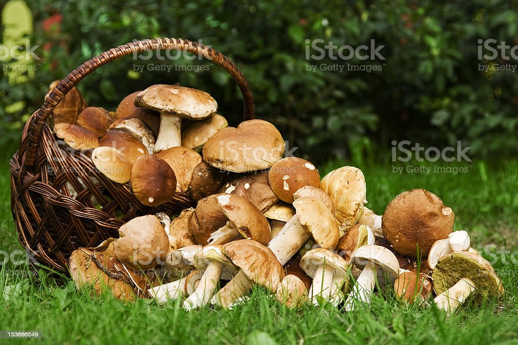 Basket with edible mushrooms. Boletus edulis. stock photo