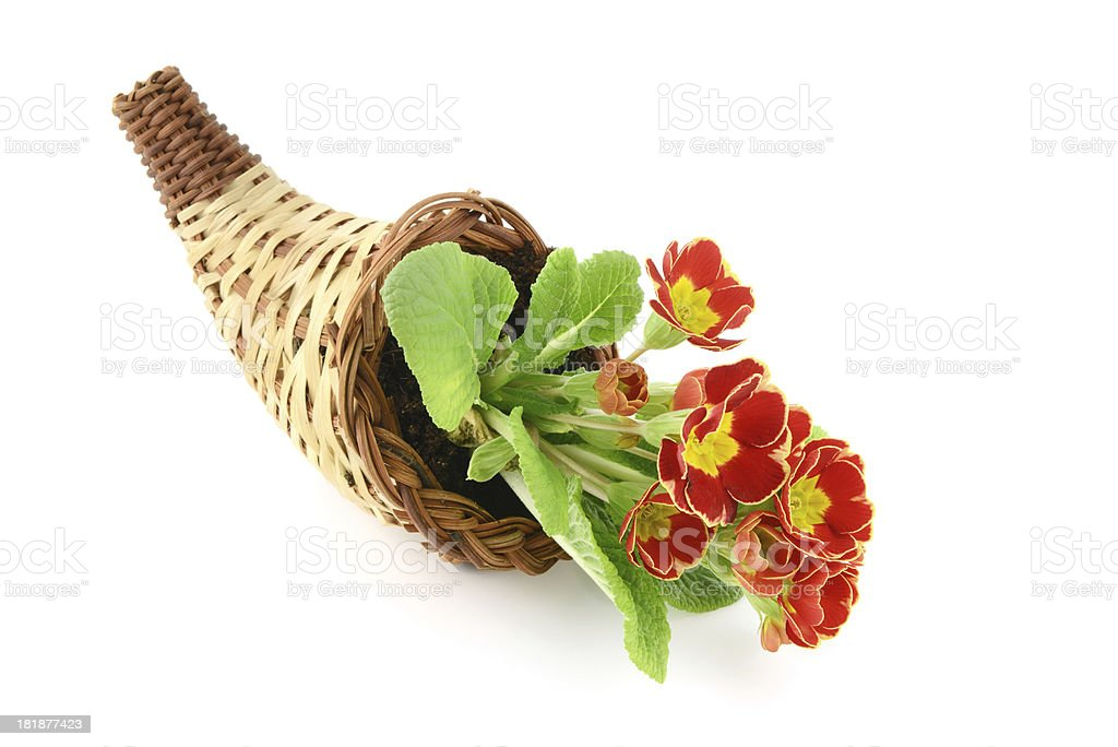 Basket with Flowerpot of primroses royalty-free stock photo