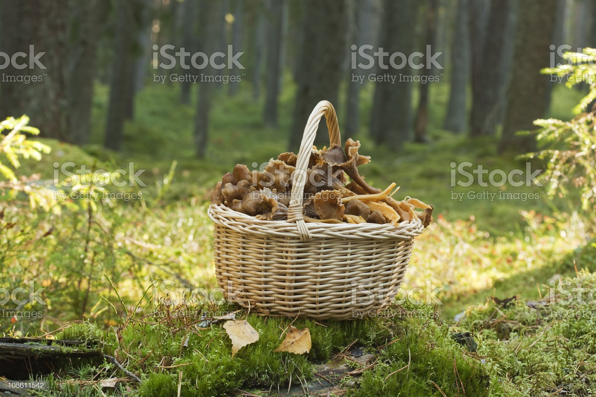 Basket with funnel chanterelle. royalty-free stock photo
