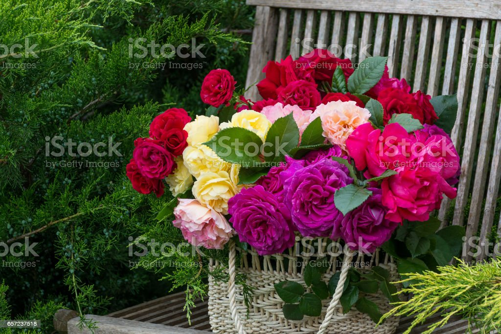Basket with multi-colored roses on a bench in the summer garden. stock photo