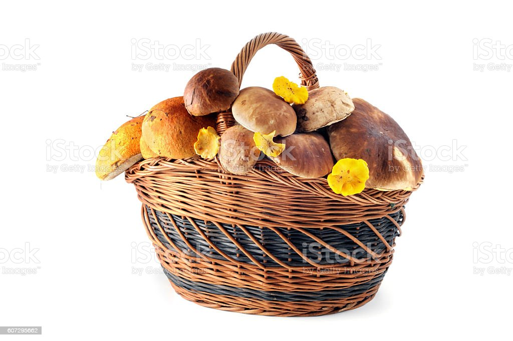 Basket with peppery bolete and golden chanterelle mushrooms stock photo