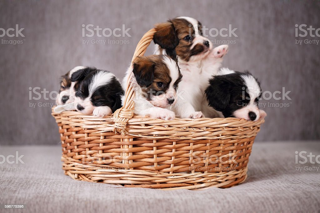 basket with puppy papillon stock photo
