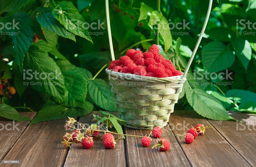 Basket with raspberries near bush on wooden table in garden stock photo