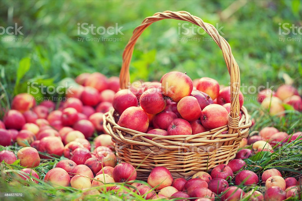 Basket with red apples on the grass stock photo
