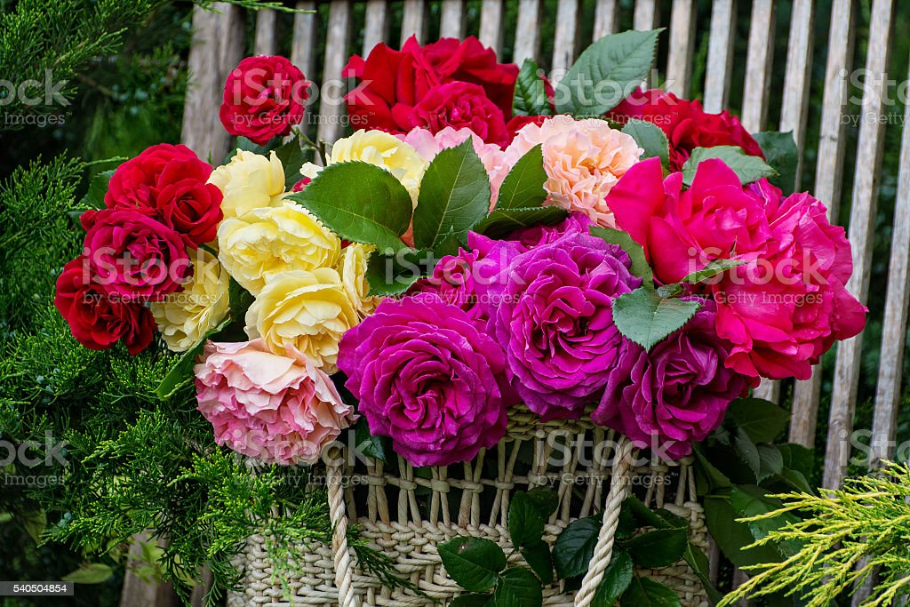 Basket with roses. In the garden. stock photo