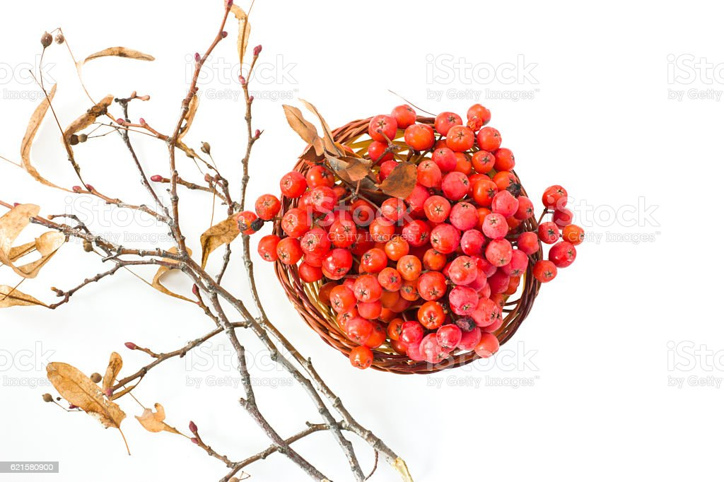 Basket with rowan branches. stock photo