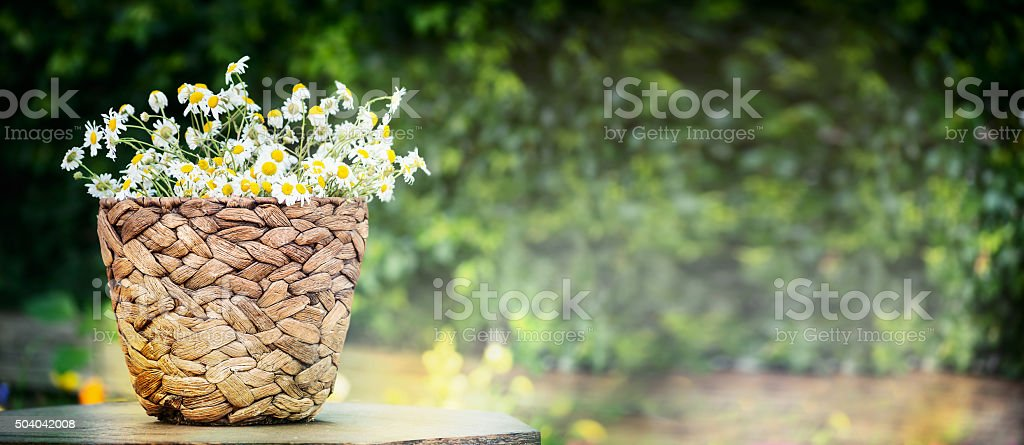 Basket with wild daisies over green nature background stock photo