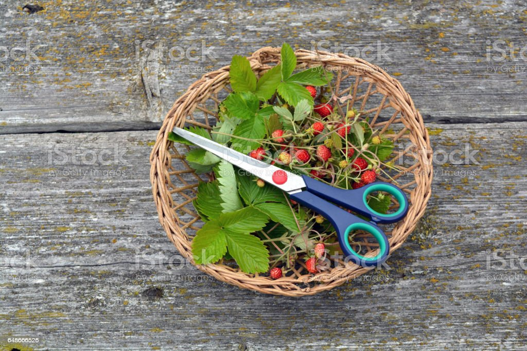 basket with wild strawberries  and scissors on old wooden background stock photo