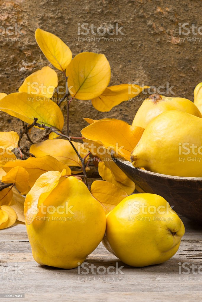 Basketful of Quinces in autumn stock photo