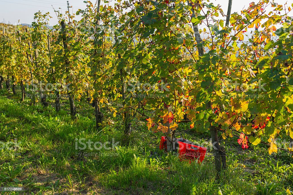 Baskets for collecting grapes (Langhe, Unesco World Heritage site) stock photo