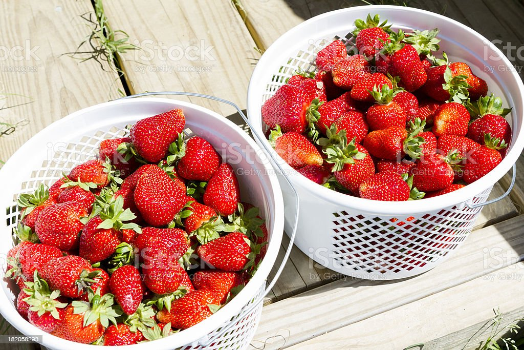 Baskets of Fresh Picked Strawberries in the sun. stock photo