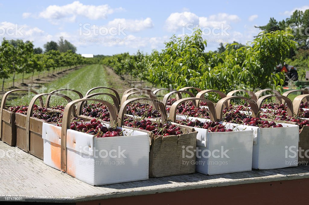 Baskets of freshly picked cherries stock photo