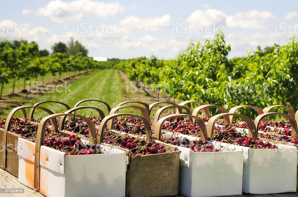 Baskets with cherries royalty-free stock photo