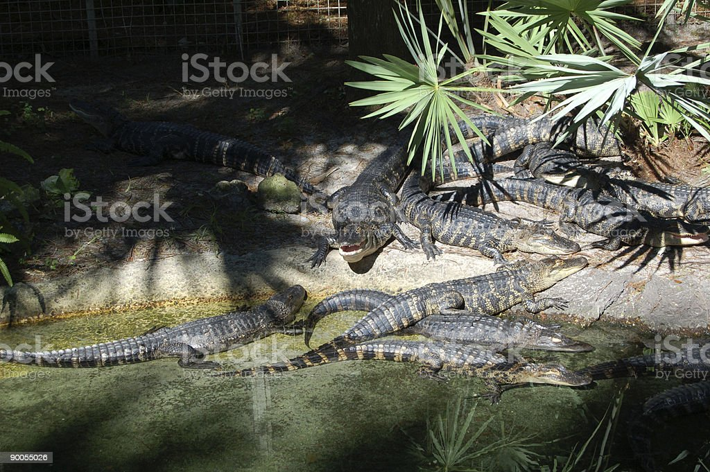 Basking Alligators royalty-free stock photo